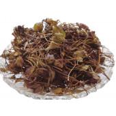 Zufa - Jufa - Hyssopus officinalis Linn – Hyssop - Issopo - Holy Herb